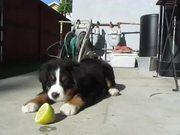 Super Cute Puppy Vs Lemon