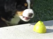 Super Cute Puppy Vs Lemon
