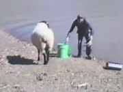 Sheep Vs Fisherman