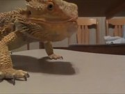 Bearded Dragon Vs Grape
