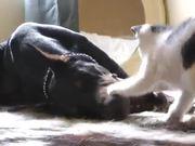 Kitten Vs Doberman