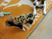 Dog And Pig Playing