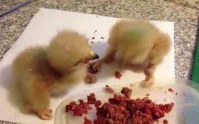 Baby Hawks Fighting