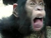 Monkey Licking Windows