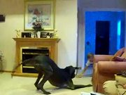 Giant Dog Playing