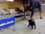 Kitten Vs Rottweiler