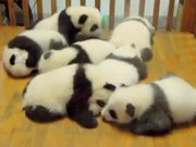 Crib Full Of Pandas