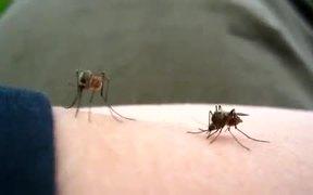 Mosquito Sucking