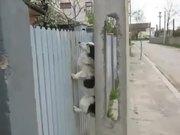 Fence Climbing Dog