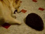 Dog Vs Hedgehog