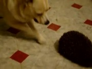 Dog Vs Hedgehog