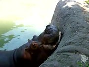Hippo Vs Watermelon
