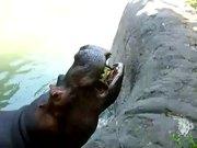 Hippo Vs Watermelon