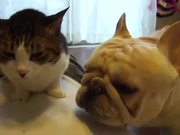 French Bulldog Cat Cleaner