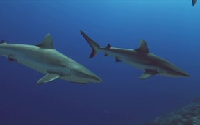 Grey Reef Sharks on a Coral Reef