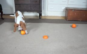 Cute Puppy Vs Orange