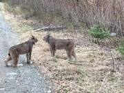 Two Lynx Have Intense Conversation