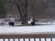 Bears Playing On The Hammoc