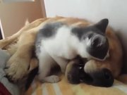 Kitten Playfully Bites Sleeping Dog