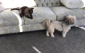 Havanese Dog Tail Is An Awesome Cat Teaser
