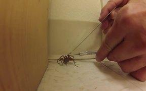 Man Frees Wild Wolf Spider