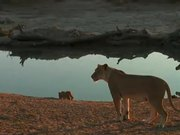 A Lion Cub Wont Listen To Mom