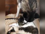 Dog Wants To Play With Cat