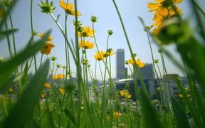 Tracking Through Daisies Outside Seoul