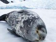Weddell Seal Making Vocalisations
