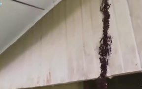Ants Building A Bridge To Attack Wasp Nest