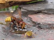 Hornet And Wasp