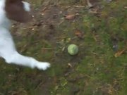 Dog Plays Fetch With Itself