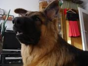 German Shepherd Ringtones