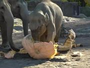 Elephants Vs Pumpkins
