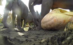Elephants Vs Pumpkins