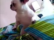 Dancing French Bulldog