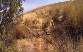 Gopro Strapped To Lions Back