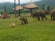 Baby Elephant Chasing Dog