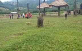 Baby Elephant Chasing Dog