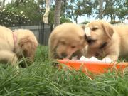 Cutest Golden Retriever Puppies