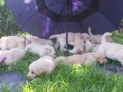 Cutest Golden Retriever Puppies