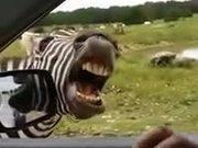 Zebra Will Sing For Snacks