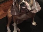 Wilson The Bulldog Plays Dressup