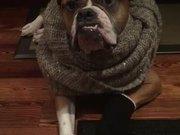 Wilson The Bulldog Plays Dressup