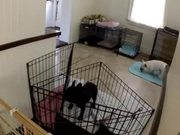 French Bulldog Escapes From Kitchen
