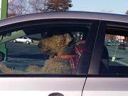 Impatient Dog Honking The Horn