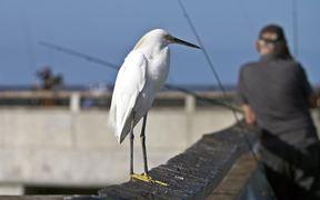 Snowy Egret on Fishing Pier