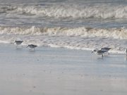 Sanderlings Running on a Beach