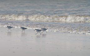 Sanderlings Running on a Beach