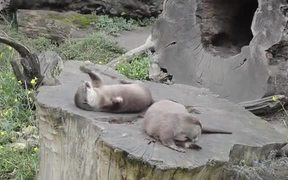 Learn Rock Juggling From The Cute Otter